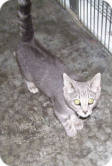 Domestic Shorthair Cat for adoption in Somerset, Pennsylvania - Meow Meow