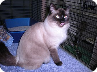 "Siamese Cat for adoption in New Castle, Pennsylvania - "" Prince Edward """