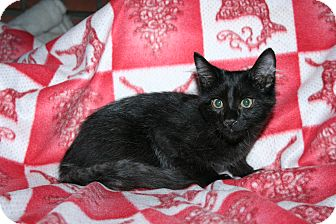 Domestic Mediumhair Kitten for adoption in Santa Rosa, California - Zinfandel