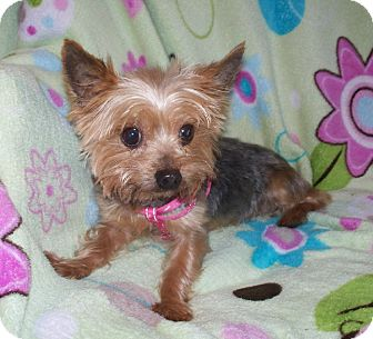 Yorkie, Yorkshire Terrier Dog for adoption in Fremont, California - Daisey