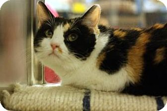 Domestic Shorthair Cat for adoption in Keller, Texas - Patches