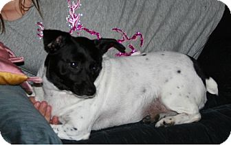 Chihuahua/Rat Terrier Mix Dog for adoption in Hamilton, Ontario - Gizmo