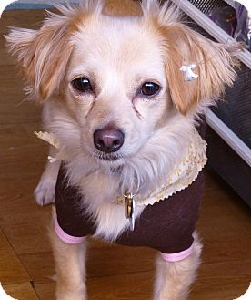 Papillon/Terrier (Unknown Type, Small) Mix Dog for adoption in Los Angeles, California - Nathalie - View Video!