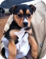 Shepherd (Unknown Type)/Hound (Unknown Type) Mix Puppy for adoption in Kimberton, Pennsylvania - Candy