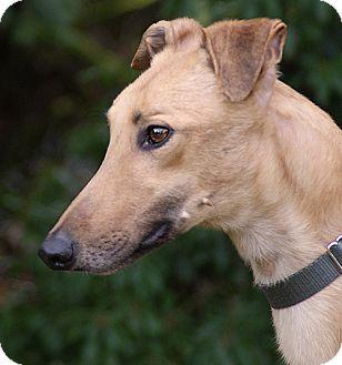 Greyhound Dog for adoption in Portland, Oregon - Friday