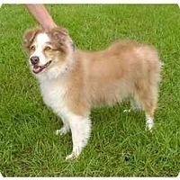 Adopt A Pet :: Amber - Orlando, FL