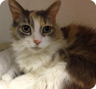 Calico Cat for adoption in Toledo, Ohio - Bailey