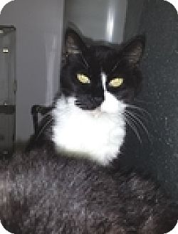 Domestic Shorthair Cat for adoption in Vancouver, British Columbia - Phantom