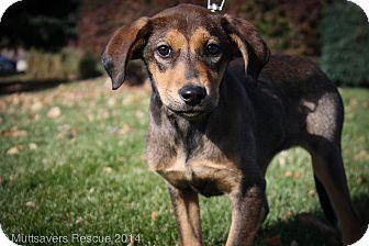 Labrador Retriever/Shepherd (Unknown Type) Mix Puppy for adoption in Broomfield, Colorado - Honeycomb