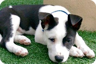 Border Collie/Terrier (Unknown Type, Medium) Mix Puppy for adoption in Gilbert, Arizona - Willis