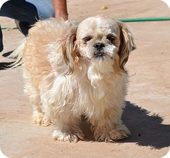 Shih Tzu Dog for adoption in Chandler, Arizona - Kenji