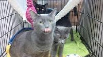 Russian Blue Cat for adoption in New Orleans, Louisiana - Cricket