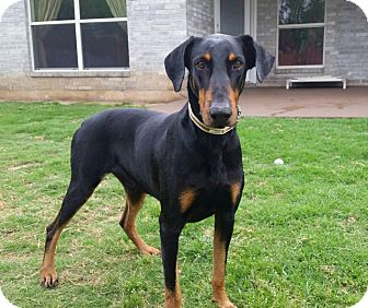 Doberman Pinscher Dog for adoption in Fort Worth, Texas - Fonz