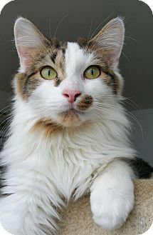 Maine Coon Kitten for adoption in Chicago, Illinois - Tristan