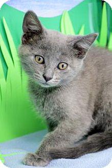 Domestic Shorthair Kitten for adoption in Bradenton, Florida - Violet