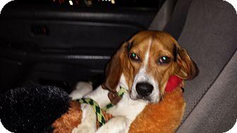 Beagle Puppy for adoption in Ortonville, Michigan - Bo Baron