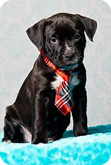 American Staffordshire Terrier/Rottweiler Mix Puppy for adoption in Houston, Texas - Ace