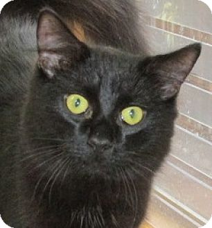 Domestic Shorthair Cat for adoption in Aiken, South Carolina - DEXTER