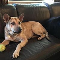 Shepherd (Unknown Type)/Labrador Retriever Mix Dog for adoption in Houston, Texas - Jelli