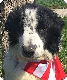 Border Collie Mix Dog for adoption in Texico, Illinois - Sully