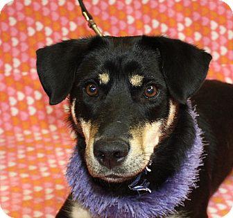 Shepherd (Unknown Type) Mix Dog for adoption in Jackson, Michigan - Karma