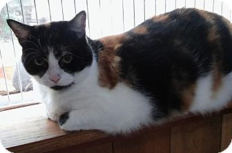 Domestic Shorthair Cat for adoption in Witter, Arkansas - Snickers (front de-clawed)