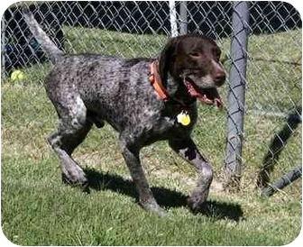 German Shorthaired Pointer Dog for adoption in Auburn, California - Luke