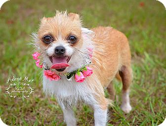 Chihuahua/Wirehaired Fox Terrier Mix Dog for adoption in Fort Valley, Georgia - Roxi