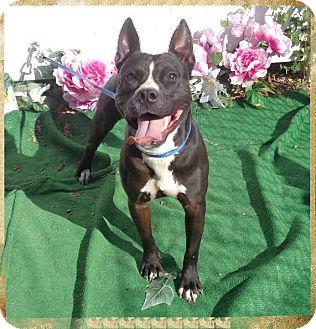 Pit Bull Terrier/Terrier (Unknown Type, Medium) Mix Dog for adoption in Marietta, Georgia - WAYLON (R)