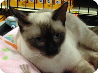 Siamese Cat for adoption in Beaumont, Texas - Whoopi