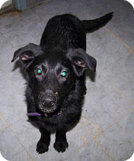 Labrador Retriever Mix Dog for adoption in Huntington, Vermont - Manny