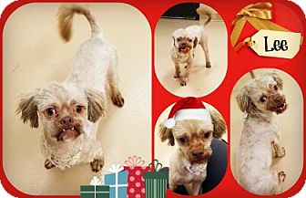 Shih Tzu Mix Dog for adoption in Joliet, Illinois - Lee