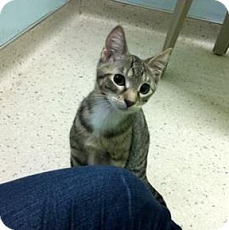 Domestic Shorthair Kitten for adoption in Janesville, Wisconsin - P. Kitty