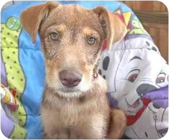 Golden Retriever/Shepherd (Unknown Type) Mix Puppy for adoption in McArthur, Ohio - BISCUIT