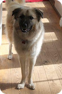 Anatolian Shepherd/Shepherd (Unknown Type) Mix Dog for adoption in Bedford Hills, New York - Mary Kate