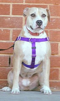 Pit Bull Terrier Mix Dog for adoption in Durham, North Carolina - Jazz