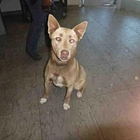 Adopt A Pet :: KEYSHA - Los Angeles, CA