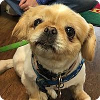 Adopt A Pet :: Pumpkin - Germantown, TN