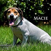 Beagle Mix Dog for adoption in Fremont, Michigan - Macie