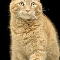 Domestic Shorthair/Domestic Shorthair Mix Cat for adoption in Cashiers, North Carolina - Oscar