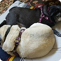 Adopt A Pet :: Brisket - Austin, TX
