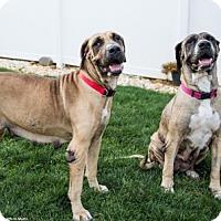 Adopt A Pet :: River - Chambersburg, PA