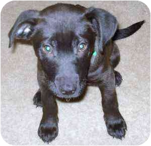 German Shepherd Dog/Labrador Retriever Mix Puppy for adoption in Plainfield, Illinois - Olive Oil