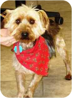 Silky Terrier Dog for adoption in Osseo, Minnesota - Andy