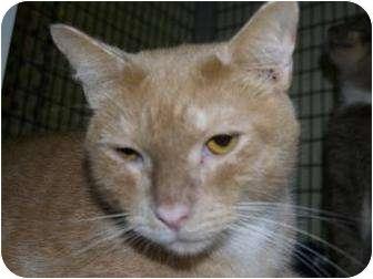 Domestic Shorthair Cat for adoption in Brooksville, Florida - Sinbad