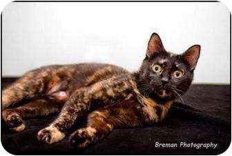 Domestic Shorthair Cat for adoption in Houston, Texas - Piglet