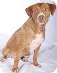 Boxer/Terrier (Unknown Type, Medium) Mix Dog for adoption in Chicago, Illinois - Joe(super sweet!)