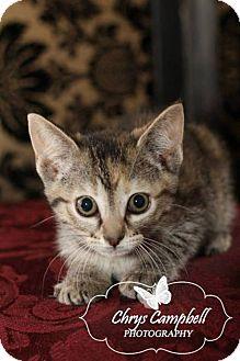 Domestic Shorthair Kitten for adoption in Edmond, Oklahoma - Bella