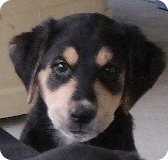 King Charles Spaniel/Labrador Retriever Mix Puppy for adoption in Colville, Washington - Cupid