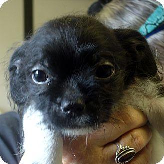 Shih Tzu Mix Puppy for adoption in Manassas, Virginia - Nabisco